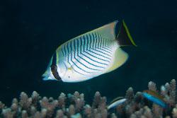 BD-130714-Maldives-0636-Chaetodon-trifascialis.-Quoy---Gaimard.-1825-[Chevron-butterflyfish].jpg